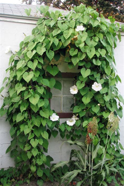 fast climbing flowering vines   garden