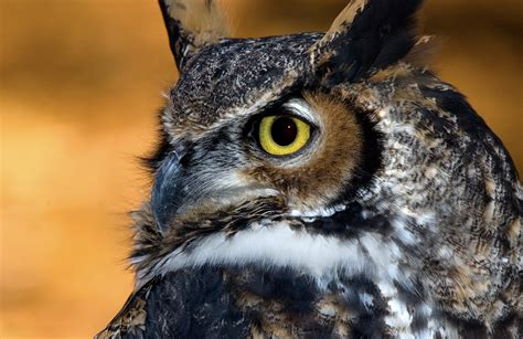 file great horned owl 15a jpg wikimedia commons