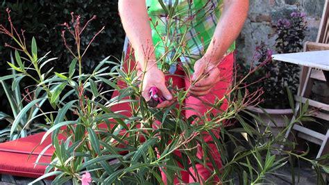 Arrosage Lauriers Roses by La Taille Du Laurier