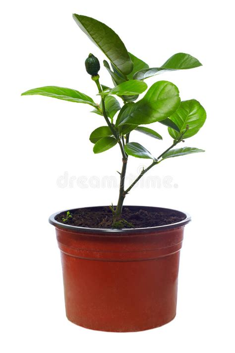 small potted plant isolated on white stock photo image small potted citrus tree plant isolated on white stock