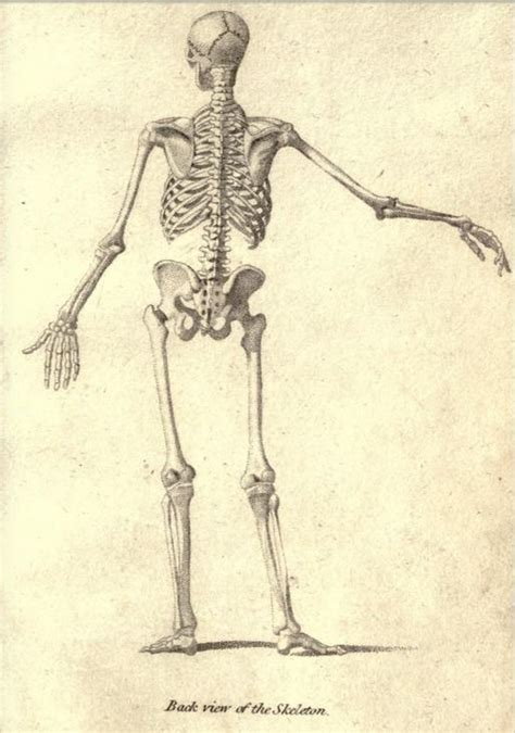 anatomy for figure drawing skeleton back from