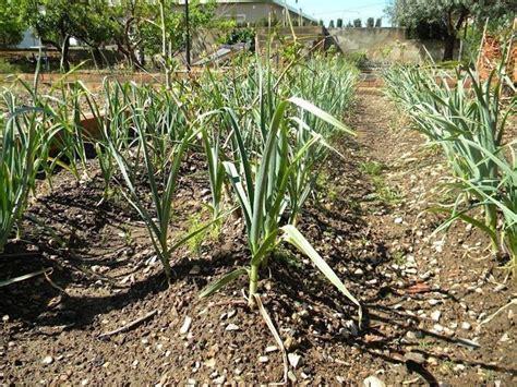 aglio coltivazione in vaso aglio semina coltivare orto coltivazione aglio