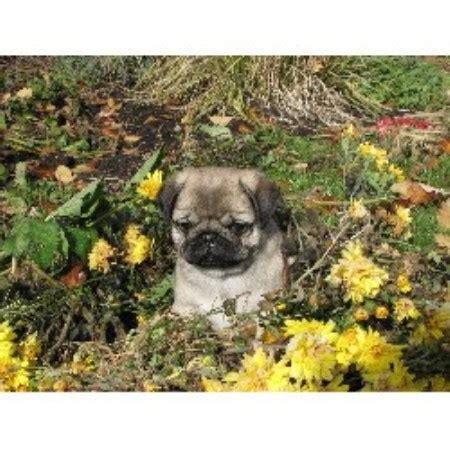 pug breeders bc hyclass pug breeder in summerland columbia listing id 14617