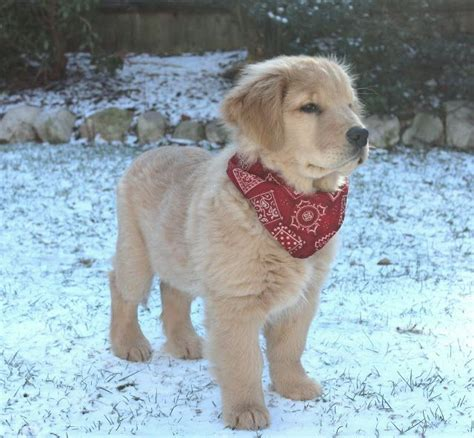 golden retriever puppy bandana clyde 3 months golden retriever puppy puppies retriever puppies