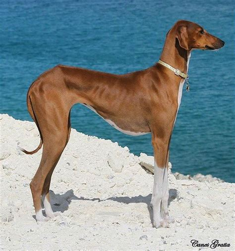 rare dog breeds puppies 11 rare dog breeds the barkpost