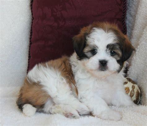 shih tzu poodle lifespan black maltese poodle mix breeds picture