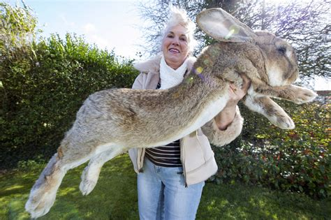 world s heaviest the world s largest rabbit is facing competition from his photos of the