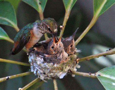 we watched a mama hummingbird raise two babies bored panda