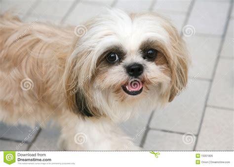 adorable shih tzu pin shih tzu haircuts on