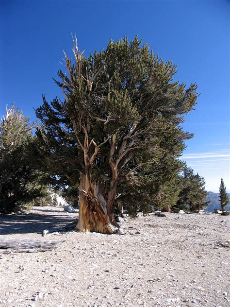 bristlecone pine tree california mystic guides bishop ca bristlecone forest dave s travel