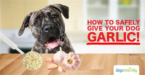 garlic for dogs garlic for dogs poison or medicine dogs naturally magazine