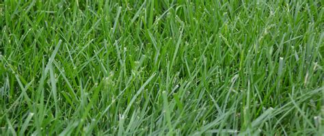 all you need to know about kentucky 31 tall fescue