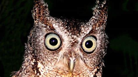 eastern screech owl sound call youtube
