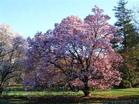 magnolia tree magnolia trees new jersey bucket of