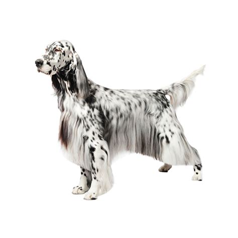 english setter dog food english setter purina 174