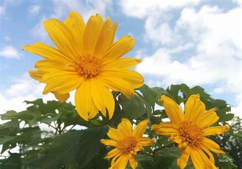 imagenes de flores de girasol fotos de la flor del girasol