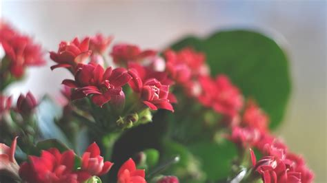 beautiful red flowers wallpapers hd wallpapers id