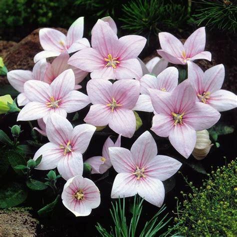 Balon Flower seeds pink balloon flower rozovyy platycodon grandiflorus bellflower ebay