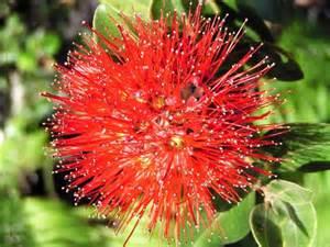 Lehua Flower - red ohia lehua metrosideros polymorpha photo selvin