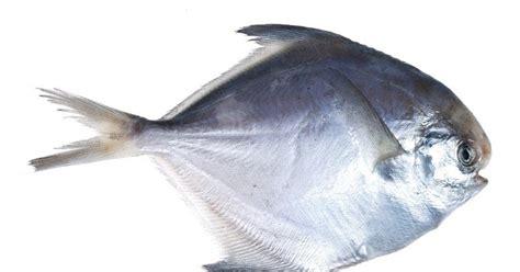 Joran Pancing Bawal Rahasia Tersimpan Pelet Umpan Memancing Ikan Bawal Terjitu