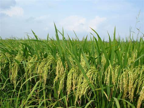 Suplemen Organik Tanaman Teknologi Peningkatan Produksi Padi Berbasis Organik