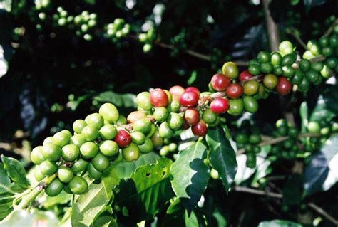 coffee plant wallpaper pin coffee bean flower in tanzania it flowerin case hd
