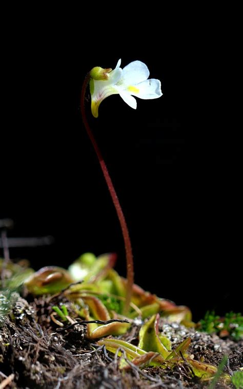 Pinguicula Primuliflora 3 pinguicula primuliflora commonly known as the primrose butterwort is a species of carnivorous
