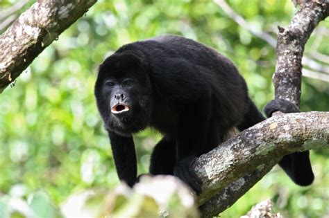 Learn all about the monkeys of Costa Rica - Javi's Travel ...