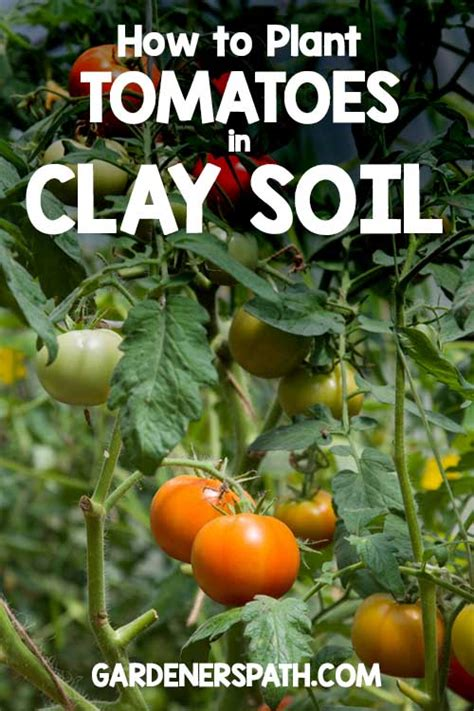 fruit trees that grow in clay soil how to plant tomatoes in clay soil gardner s path