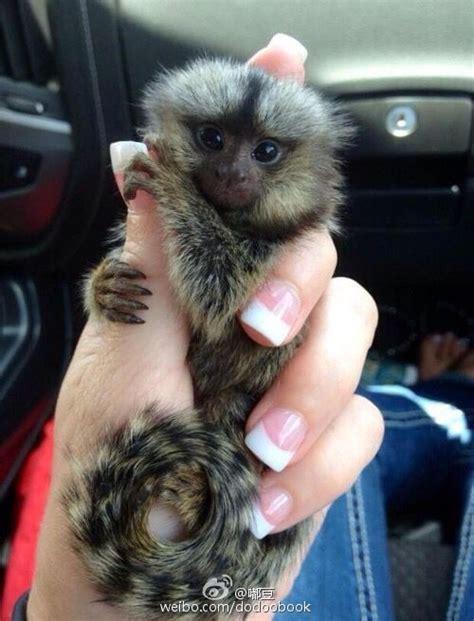 finger monkeys   smallest monkeys youll