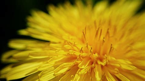 images nature blossom abstract dandelion petal