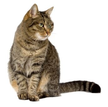 house cat breeds house cats the most common cat breed