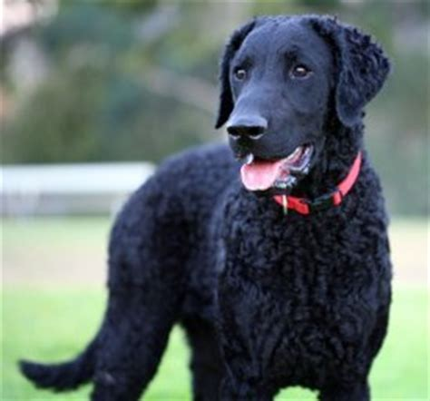 Curly-Coated Retriever FAQ: Frequently Asked Questions