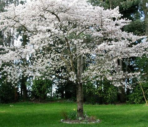 the amazing beauty of ornamental cherry trees ornamental