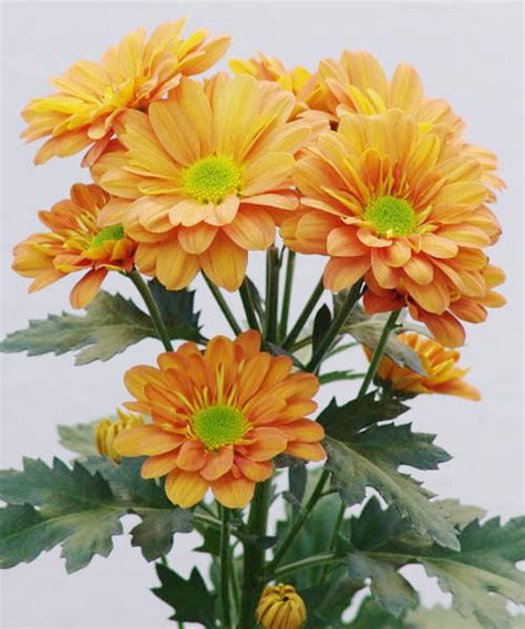 Orange Floral King Sprei spray chrysanthemum wholesale cut flowers wa