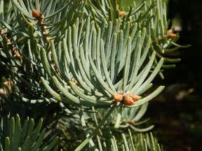 Usda Home Search abies concolor white fir picea concolor