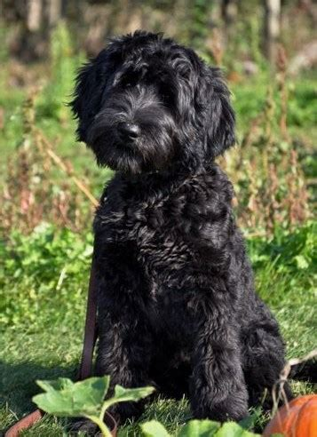 black labradoodle puppies australian labradoodle colors labradoodles of the