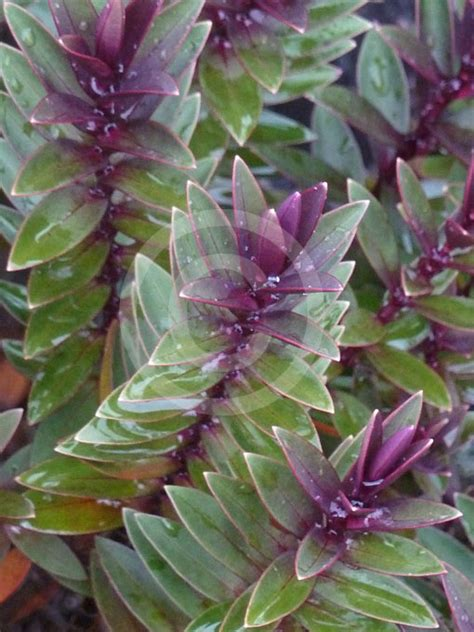 pretty plant hebe pretty in pink pretty in pink hebe information photos