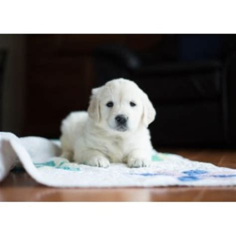 tennessee golden retriever breeders cold mountain retrievers golden retriever breeder in chuckey tennessee