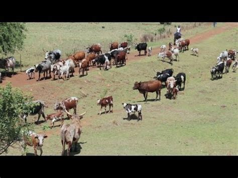 working cattle ranches in south africa nguni cattle drive south african cattle ranch canon