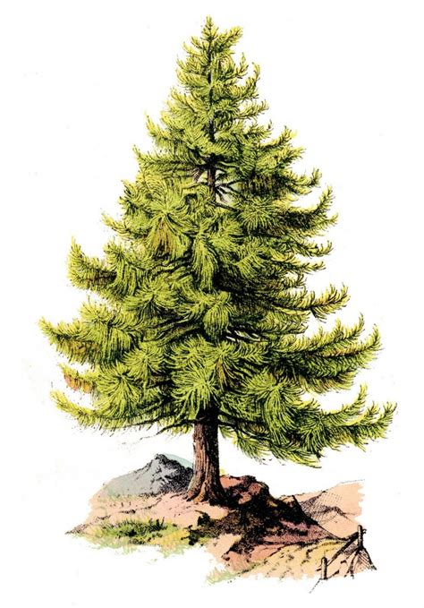top traditional pine tree images 115 free images best graphics the