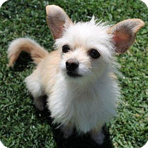 terrier pomeranian sweet wendy adopted la habra heights ca cairn terrier pomeranian mix