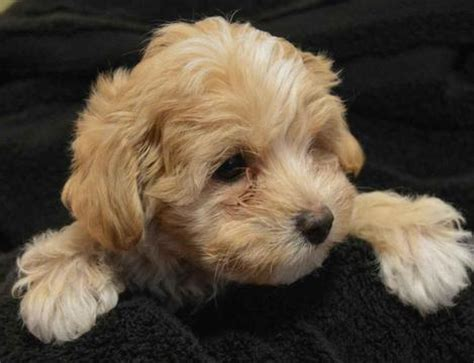 free puppies in shreveport view ad maltipoo puppy for sale louisiana shreveport
