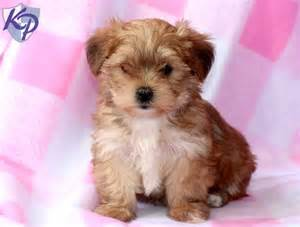 Tessa morkie puppies for sale in pa keystone puppies