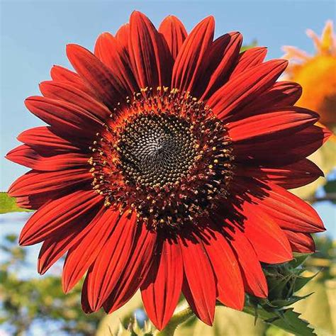colors of sunflowers sunflower seeds flower seed annual flowers