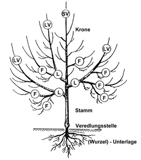 obstbaumschnitt wann obstbaumschnitt