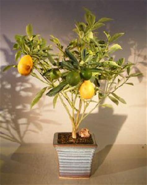 kumquat tree not bearing fruit kumquat bonsai tree variegated fortunella japonica