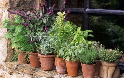 how to grow a herb garden in pots tilia botanicals growing herbs in pots