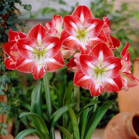 Umbi Amaryllis Amarylis Amarillis Amarilis Merah Marun Besar legenda makna dan fakta bunga amarilis bibitbunga