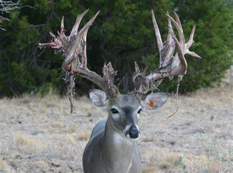 10 awesome photos of deer shedding their velvet pics
